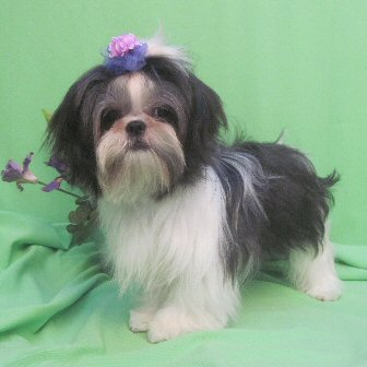 Our Shih Tzu Girls Shih Tzu Dog Breeders Texas